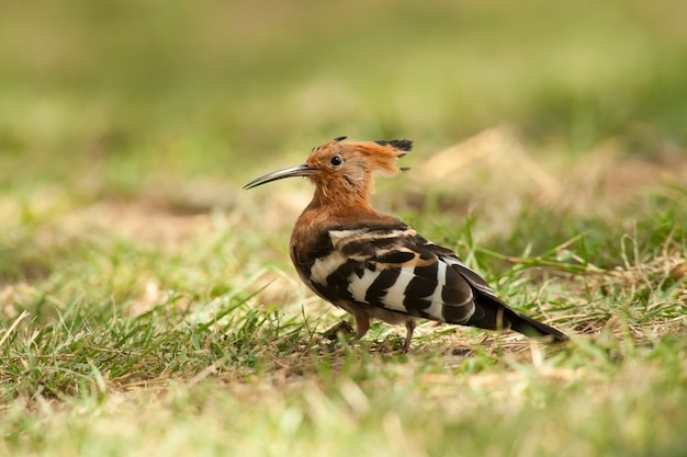 Hoopoe on the grass