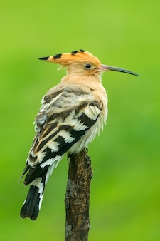 Hoopoe perched on wooden branch