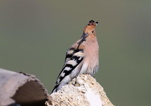ヤツガシラは岩の上に座って、長いくちばしに厚い虫を近づけます Premium写真