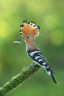 Hoopoe sitting on a moss covered twig with open crest and catch in the beak.