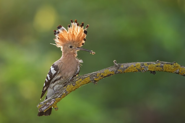 Hoopoe, upupa epops, sitting on a twig with open crest and catch in the beak.