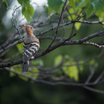 Hoopoe watching while in the tree