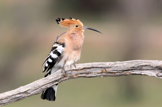 Hoopoe with the first light of day, upupa epops