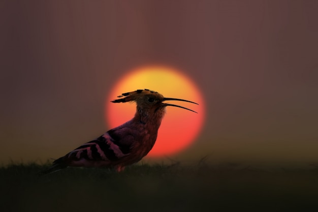 Hoopoe with the first light of the morning