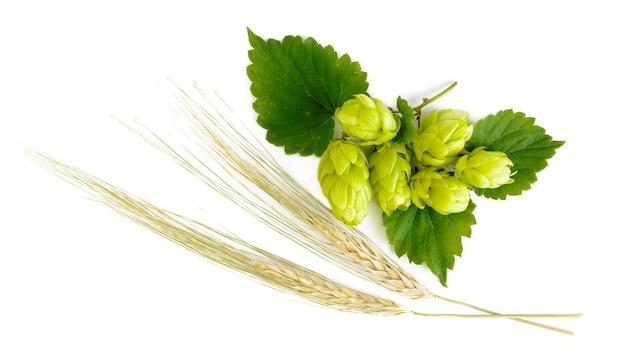 Шишки хмеля с листьями и ушами отдыха ячменя, изолированные на белом. сырье для пивоварения