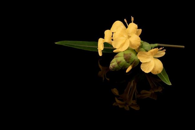 홉 향하고 있는 barleria 또는 barleria lupulinaon은 검정색 배경에 격리되어 있습니다.