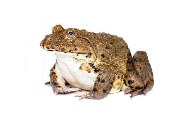 中国の食用カエル、東アジアのウシガエル、白い背景で隔離台湾カエル(hoplobatrachus rugulosus)のイメージ。両生類。動物。