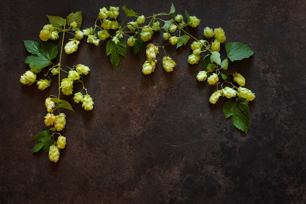 Hops plant.  autumn . top view, close up on dark  .