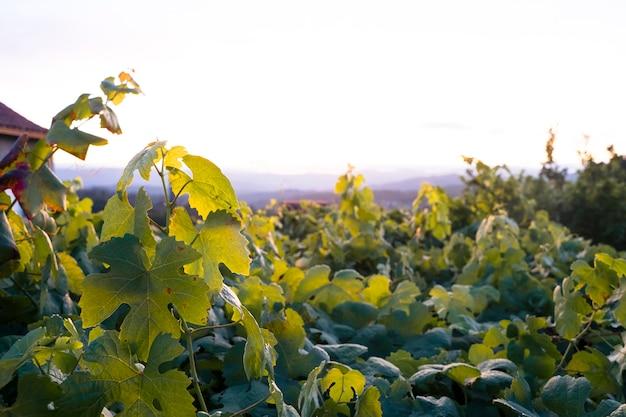 夏のブドウの成長の緑のブドウ畑の水平からの眺め。自然、旅行、休日のコンセプトです。スペインの村の自然農業資源。スペイン、ガリシア北部の風景。
