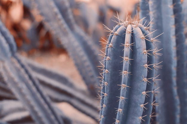 Горизонтальный фон с пустынным кактусом carnegiea gigantea