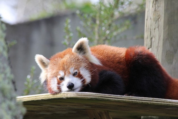 Horizontal closeup shot of an adorable red panda on a wooden table at the zoo
