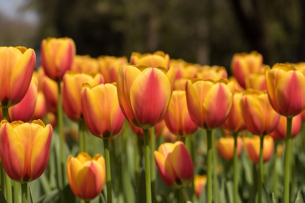 Horizontal closeup shot of gorgeous pink and yellow tulips - spreading beauty in nature