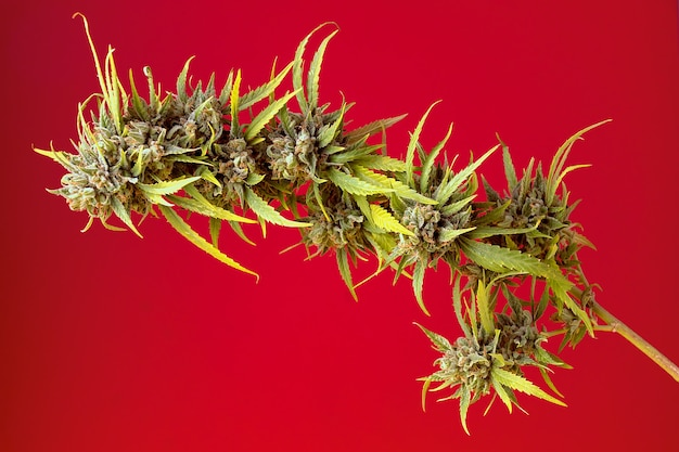 Horizontal image of cannabis plant with buds on red background and soft side lighting