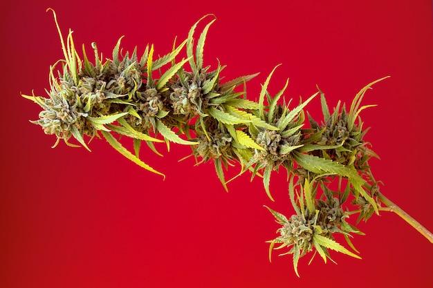 Горизонтальное изображение растения каннабис с бутонами на красном фоне и мягким боковым освещением