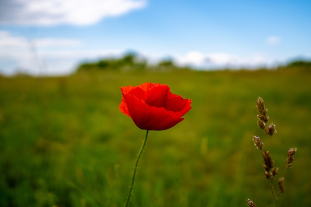 Horizontal shot of a beautiful red poppy in a green field during daylight