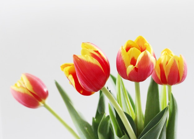 Horizontal shot of beautiful red and yellow tulips isolated on a white background