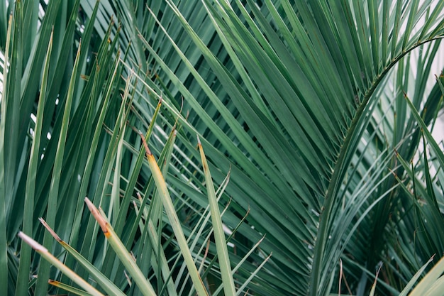 Horizontal shot of a dense palm tree with sharp leaves
