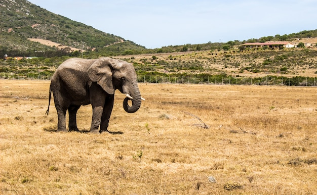 Horizontal shot of an elephant standing in savanna and some hills