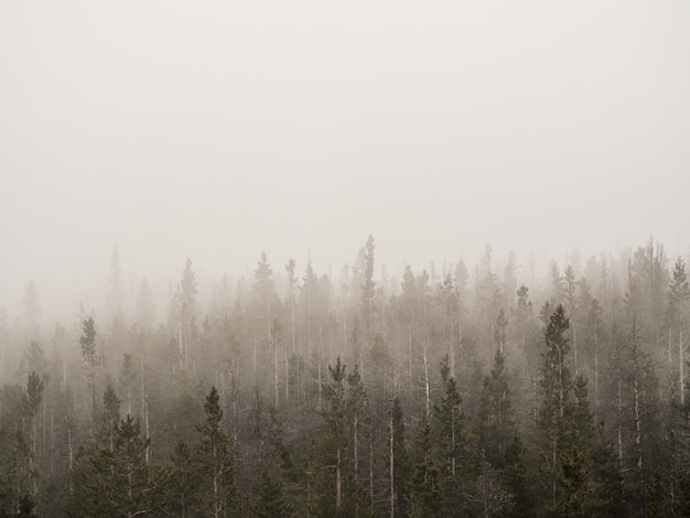 Horizontal shot of a foggy forest with tall trees covered in mist