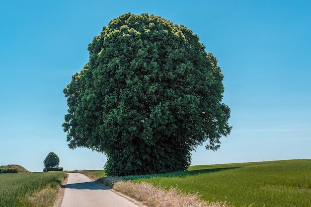 日中の狭い道路の隣のフィールドにある巨大な緑の木の水平方向のショット