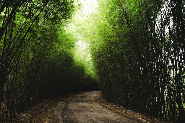 Horizontal shot of a pathway surrounded by tall thin green bamboos