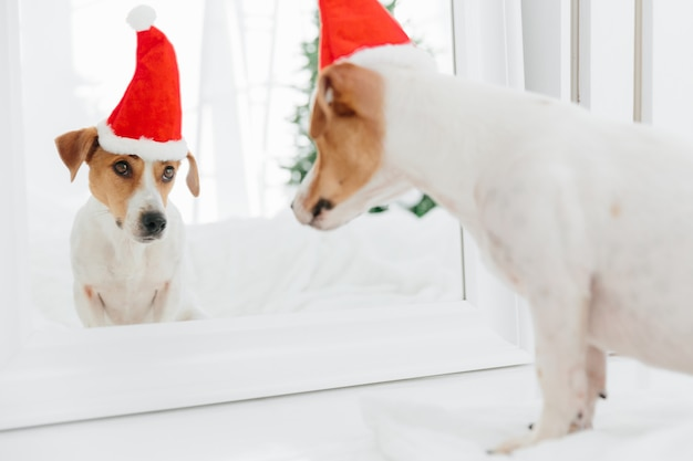 Horizontal shot of pedigree dog looks in mirror at itself, wears red sant claus, anticipates for christmas or . holiday attributes