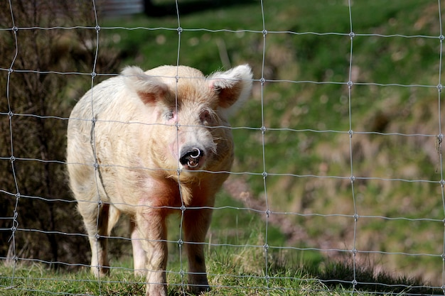 Horizontal shot of a pig in the field behind a fence during daytime