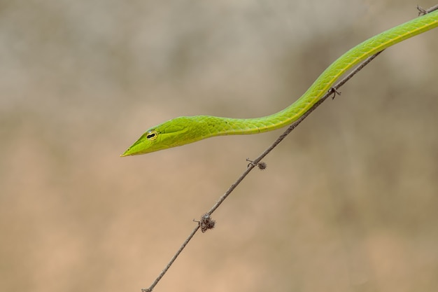 Horizontal shot of a small green snake on a thin brunch of the tree