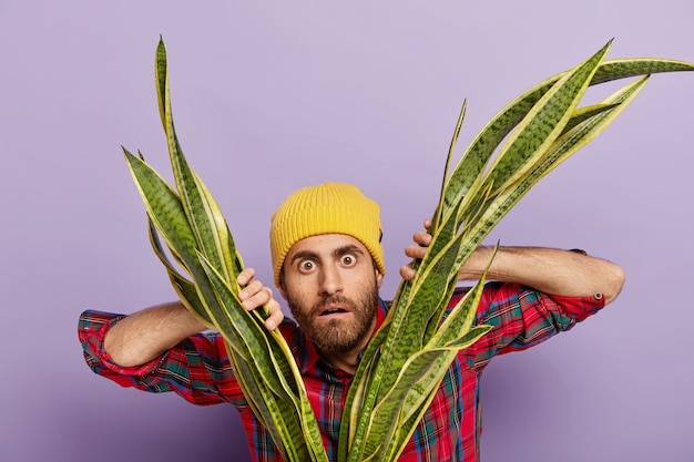 Horizontal shot of surprised male botanist or florist looks with startled expression through sansiveria, feels impressed, wears yellow headgear and stylish shirt, takes care of indoor plant at home.