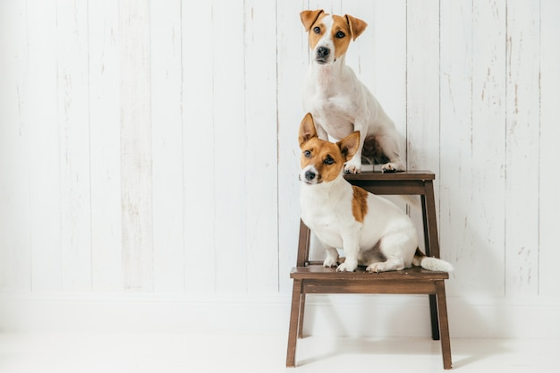 Horizontal shot of two jack russell terrier dogs sit on chair, listen to host together attentively