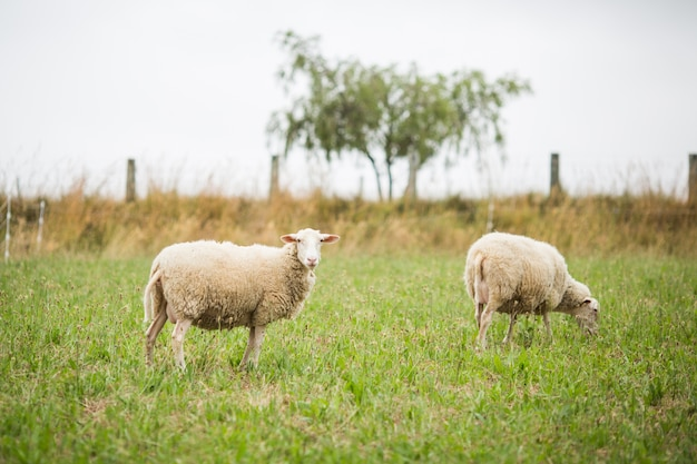 Horizontal shot of two white sheep walking and eating grass in a field during daylight