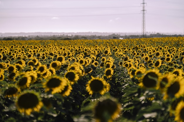 Horizontal view of beautiful sunflower fields on a nice day