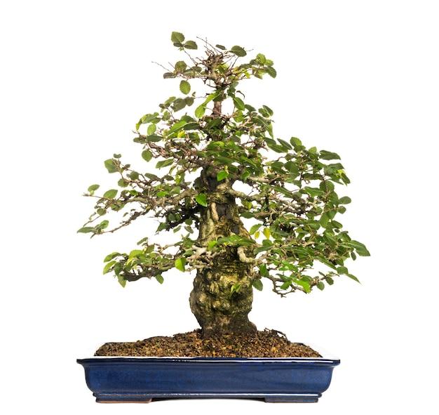 Hornbeams bonsai 나무, carpinus, 흰색 절연