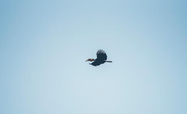 Овощной hornbill, rhyticeros undulatus, hornbill, летящий на голубом небе