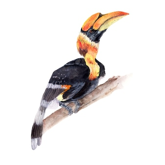Hornbill watercolor painting isolated