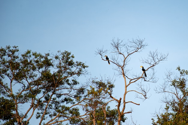 Hornbills perched on tall trees