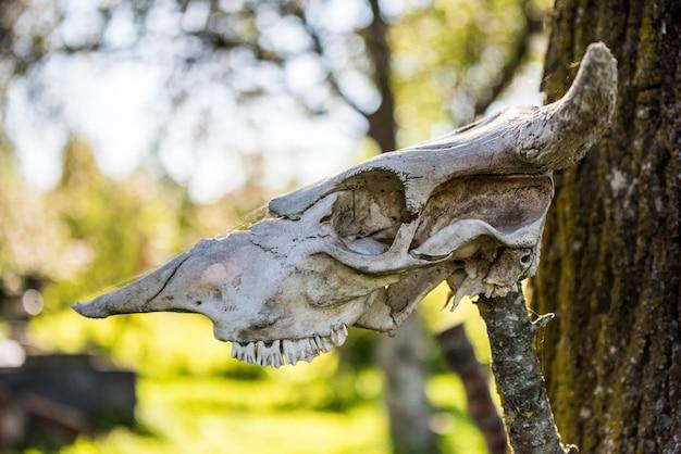 Скелет головы рогатой коровы висит на дереве.