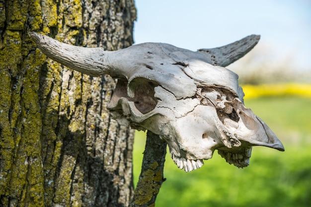 Horned cow head skeleton hanging on wood.