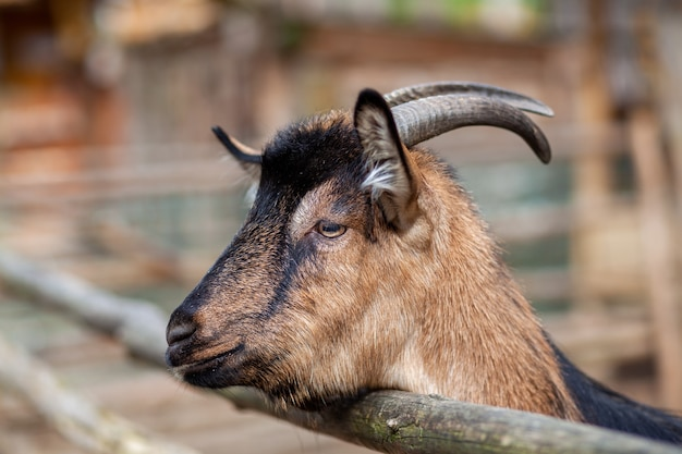 A horned goat looks out through a wooden fence. the animal begs for food from visitors. rural corner.