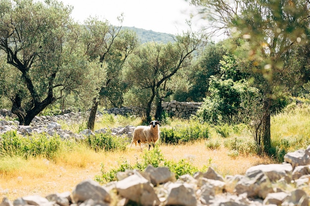 The horned sheep grazes in the olive grove