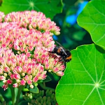 Hornet on autumn flowerses