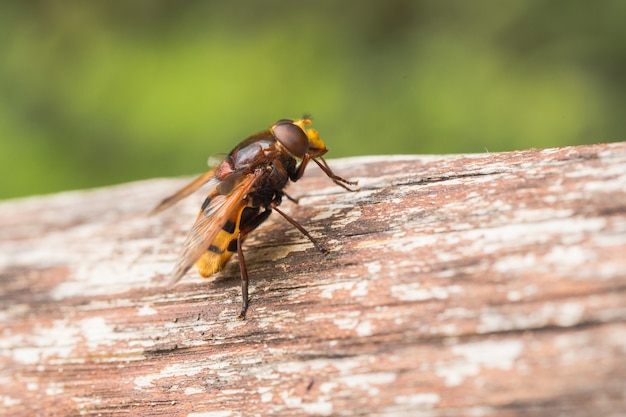 Hornet imita hoverfly, volucella zonaria, un batesiano mimo