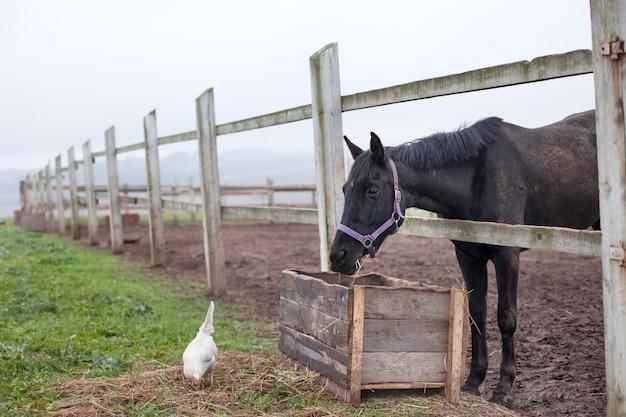 말과 닭 울타리 근처 식사