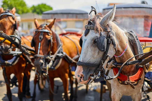 Конные экипажи. прогулка в телеге по улицам острова бююкада. аттракцион для туристов.