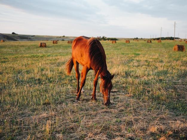 牧草地と新鮮な空気の青い空の野原で草を食べる馬