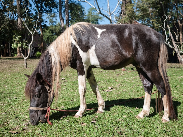 Horse eating a grass