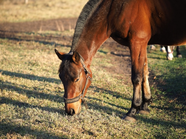 Horse in a field eating grass. Premium Photo