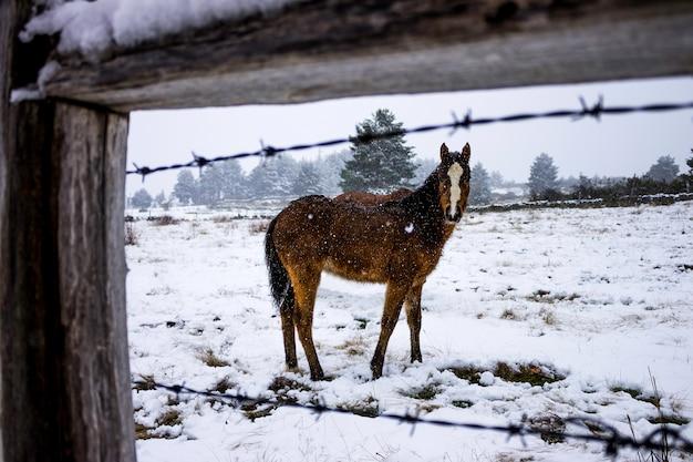 雪の中で馬の子馬。