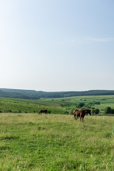 Лошади пасутся на лугу, полях и лугах, пейзаж
