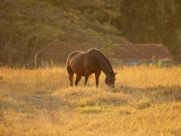 ブラジルの日没時の馬の放牧。